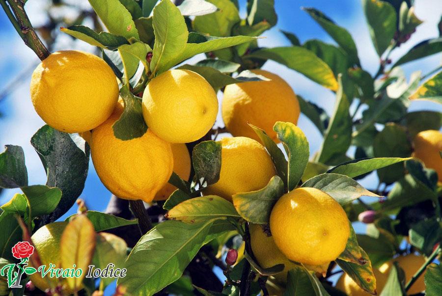 Piante da frutto vivaio iodice matrimoni ed eventi for Piante da vivaio
