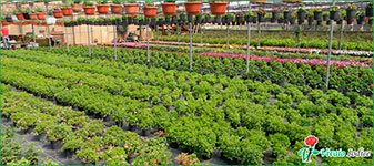 noleggio piante vivaio iodice
