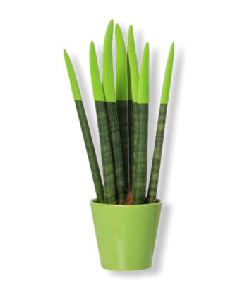 Sansevieria Touch Verde
