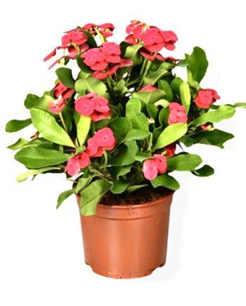 Euphorbia Conora di Cristo