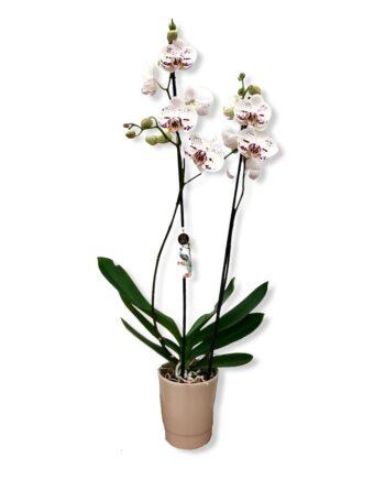 "Orchidea Phalaenopsis ""maculata"""