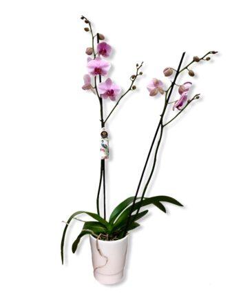 "Orchidea Phalaenopsis ""sacramento"""