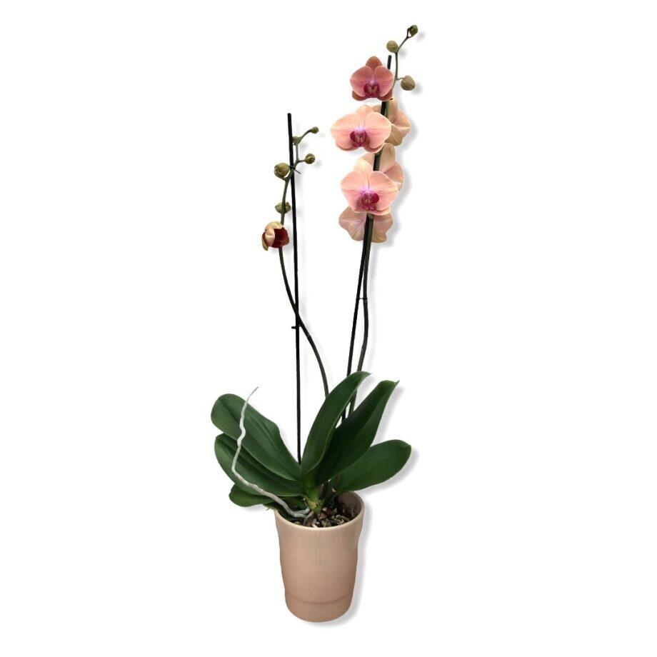 "Orchidea Phalaenopsis ""Asia Sun """