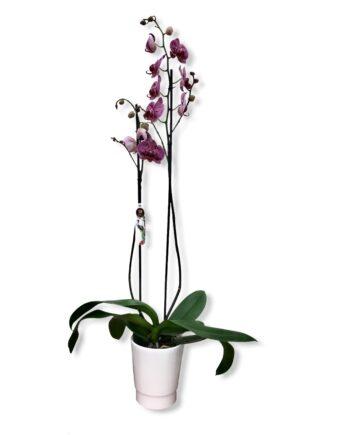 "Orchidea Phalaenopsis ""champions"""