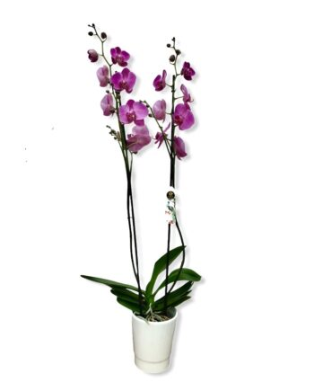 "Orchidea Phalaenopsis ""flashdance"""