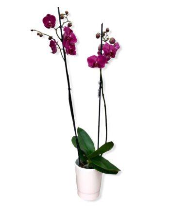 """Orchidea Phalaenopsis """"joyride"""""""