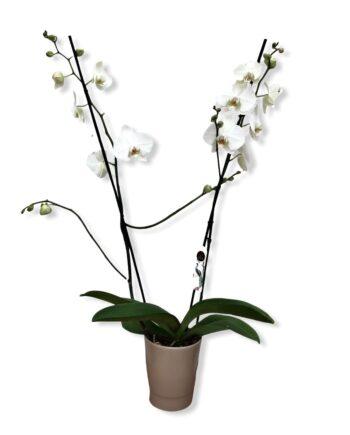 """Orchidea Phalaenopsis """"Leeds"""""""