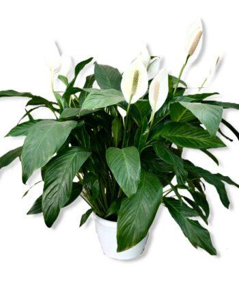 Spathiphyllum XXL